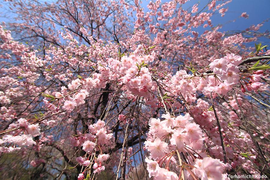 枝垂れ桜」の撮影テクニック - ...